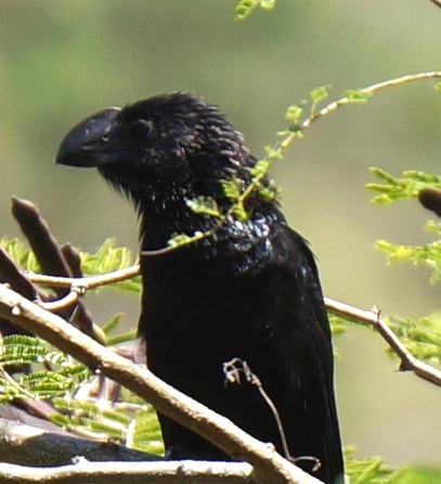 Close-up of smooth-billed ani