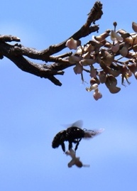 Female carpenter bee with flower from fish poison tree