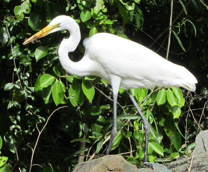 Great white egret with lizard