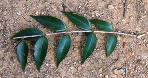 Guavaberry leaves