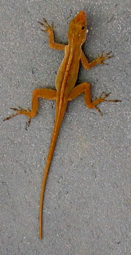 Anole lizard on wall