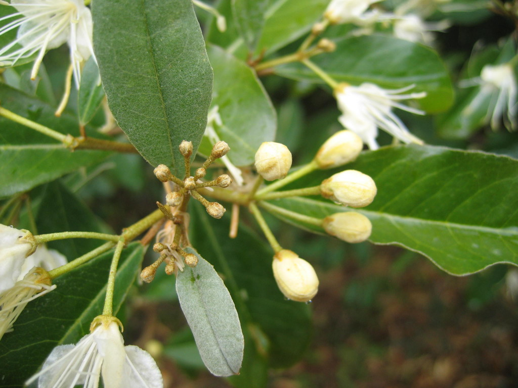 White caper buds and flowers