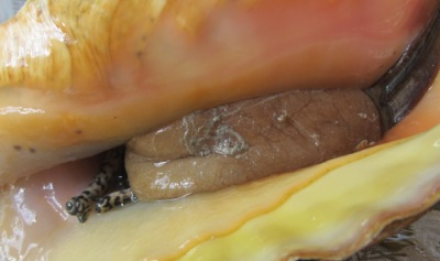 Close-up of conch