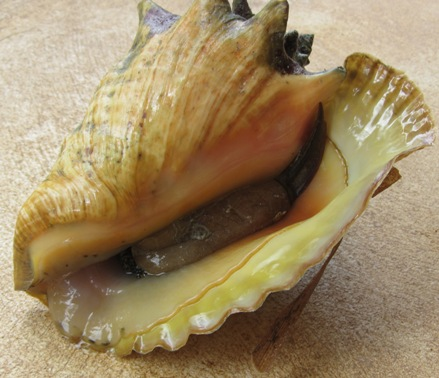 Conch inside shell