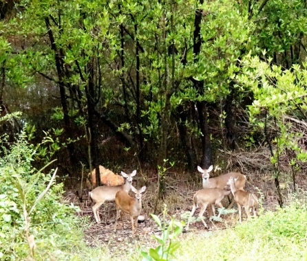 Deer by black mangrove pond