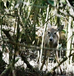 Young deer peering through mangroves