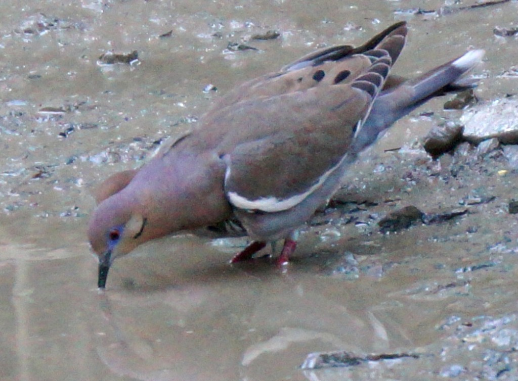 White-winged dove drinking