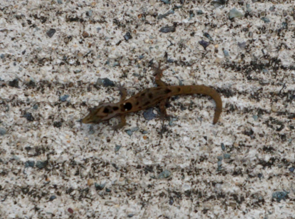 Dwarf gecko in the road
