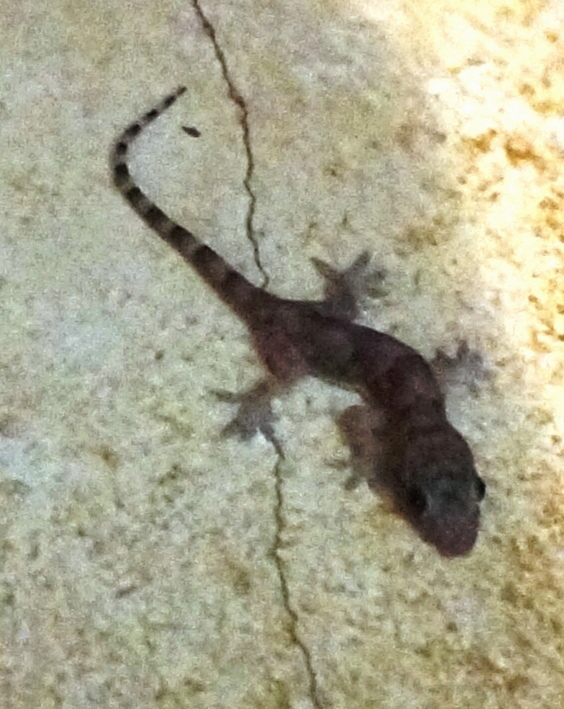 Gecko that came in the house