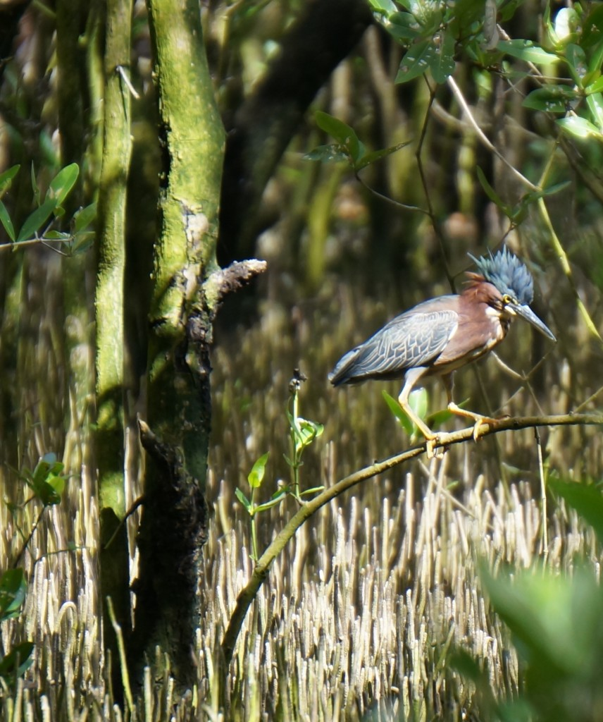 Green-backed heron with crest up