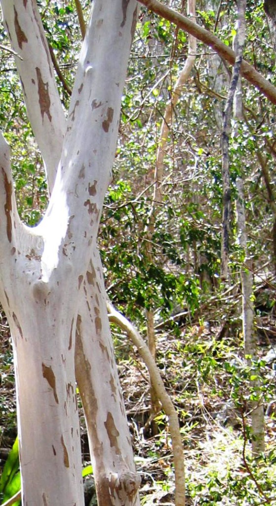 Guavaberry bark