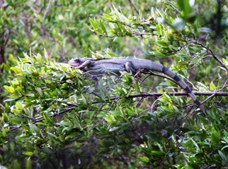 Iguana lounging on black mangrove branch