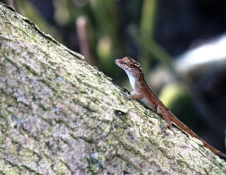 Anole lizard on black mangrove branch