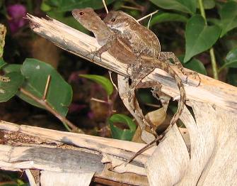 Anole lizards mating
