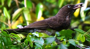Pearly-eyed thrasher eating birch berry