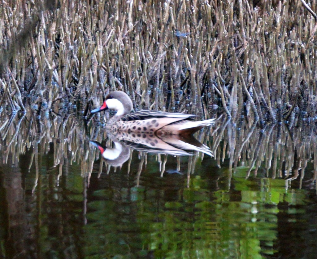 White-cheeked pintail duck in black mangrove roots