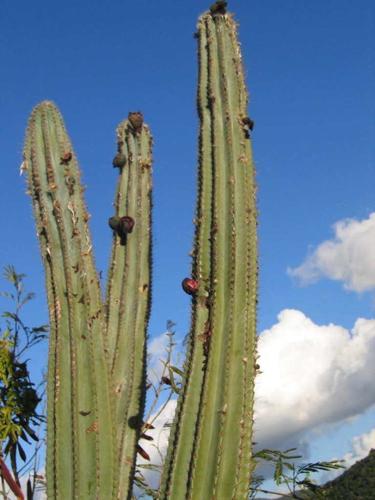Pipe cactus with fruits