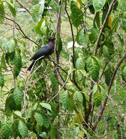Rat bean tree with scaly-naped pigeon