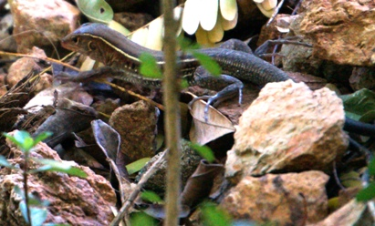 skink small