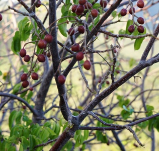 Turpentine tree leaves and berries