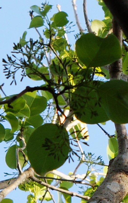 Water mampoo leaves and buds