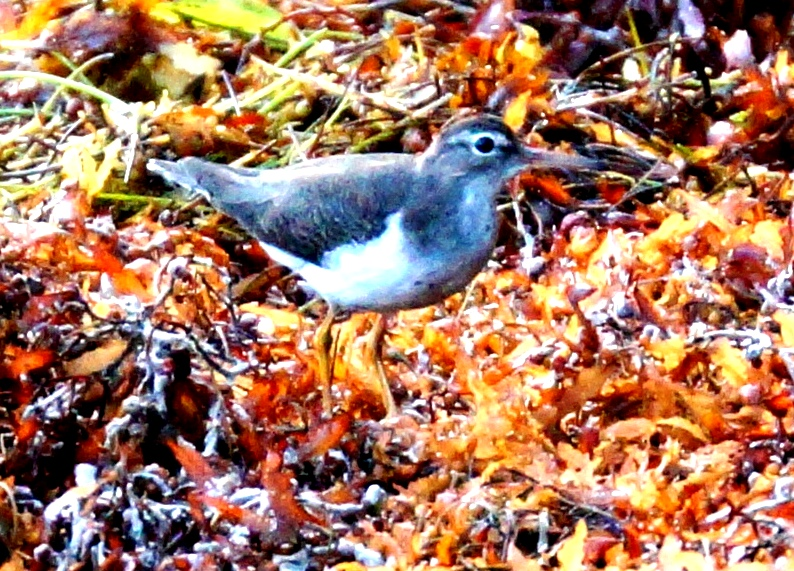 Sandpiper on sargassum. Photo Gail Karlsson