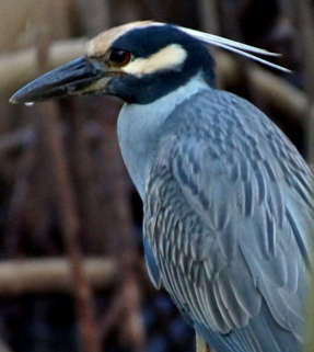 Yellow crowned night heron near Fish Bay. Photo Gail Karlsson